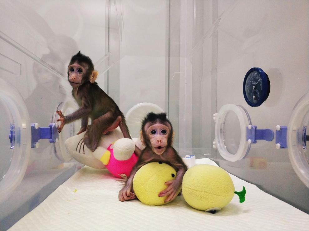 scimmie_clonate_cina_24200712.jpg